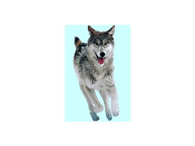 Logo Animals Wolves 010 Color