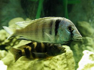 Photo Aquarium Fish 36 Animal