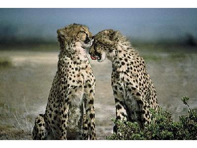 Photo Cheetah Animal