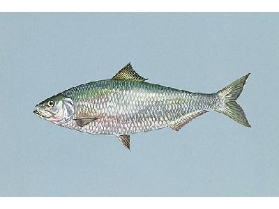 Photo Fish Shad Animal