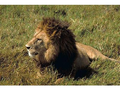 Photo Lion Animal