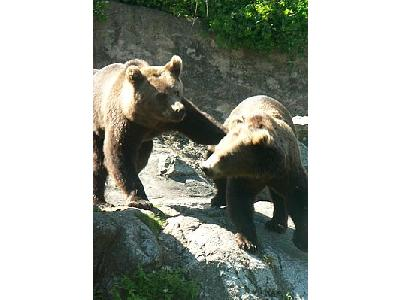 Photo Bears Playing Animal