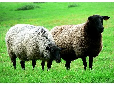 Photo Black Headed Sheep Animal
