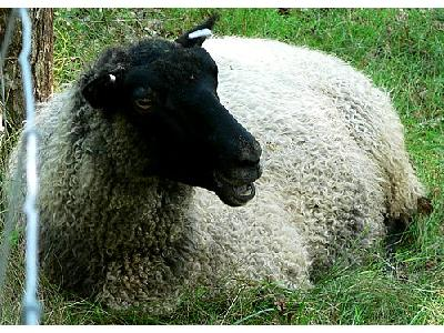 Photo Black Headed Sheep 3 Animal