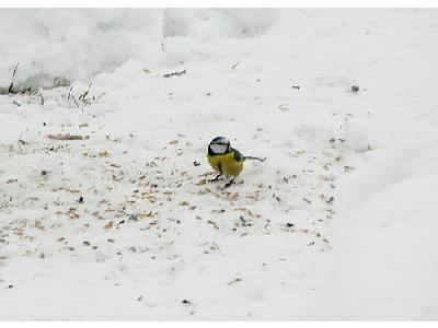 Photo Blue Tit Eating Seed Animal