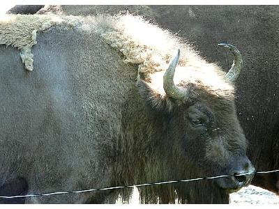 Photo Buffalo Animal