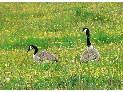 Photo Canadian Geese Animal