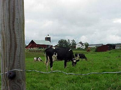 Photo Cow Pasture Animal