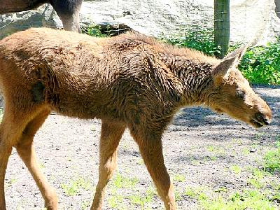 Photo Elk Calf Animal