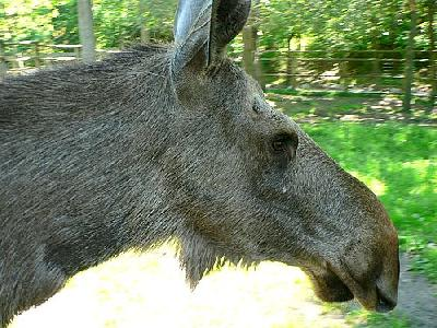 Photo Elk Cow Closeup Animal