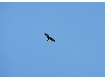 Photo Flying Bird Of Prey Animal