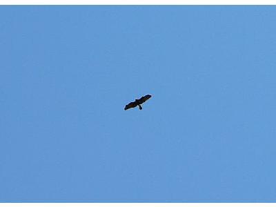 Photo Flying Bird Of Prey 2 Animal