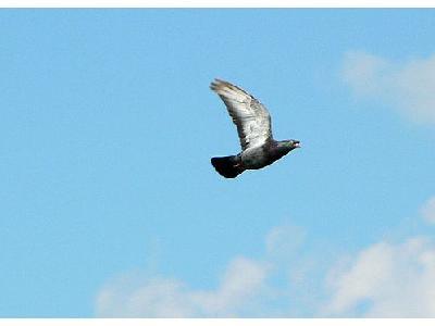 Photo Flying Pigeon 2 Animal
