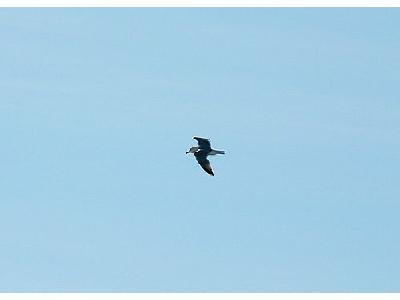 Photo Flying Seagull Animal