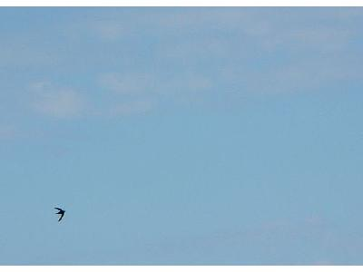 Photo Flying Swallow Animal