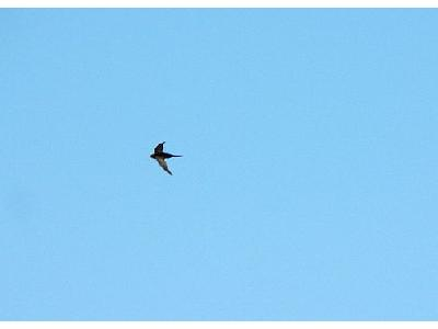 Photo Flying Swallow 5 Animal