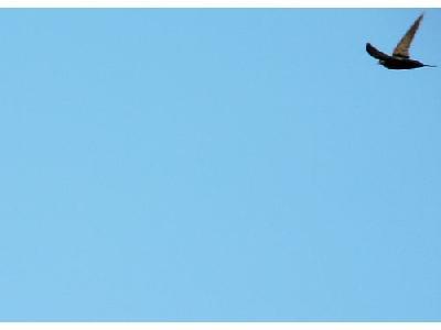 Photo Flying Swallow 7 Animal