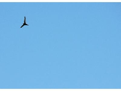 Photo Flying Swallow 8 Animal