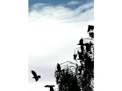 Photo Jackdaws Taking Off From Tree Animal