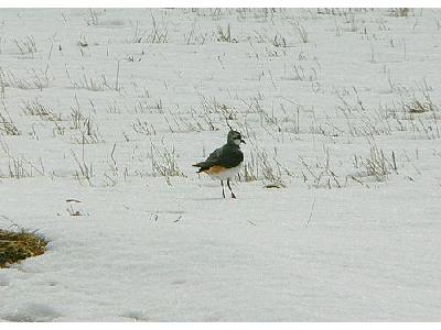 Photo Lapwing In Snow Animal
