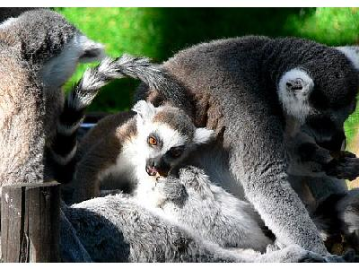 Photo Lemurs Eating Animal