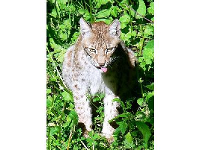 Photo Lynx Sitting Animal