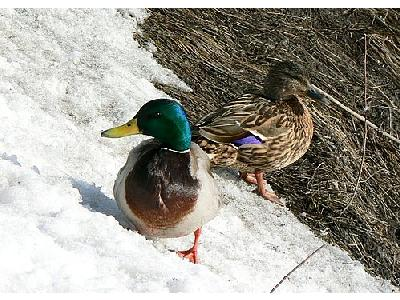 Photo Male And Female Mallards On Waterside Animal