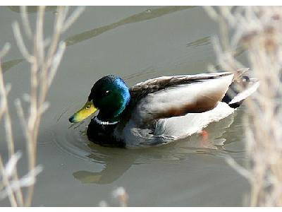 Photo Mallard Swimming In Cold Water Animal