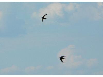 Photo Pair Of Flying Swallows Animal