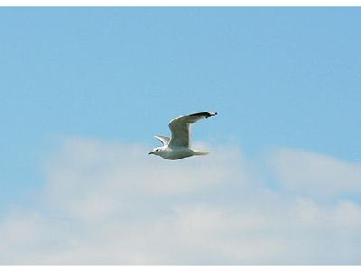 Photo Seagull Flying 3 Animal