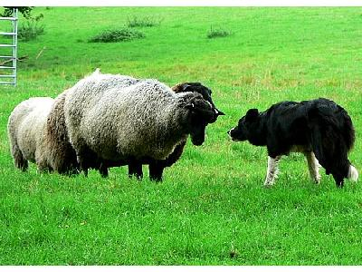 Photo Sheep And Sheep Dog Animal