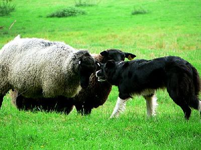 Photo Sheep And Sheep Dog 2 Animal