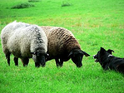 Photo Sheep And Sheep Dog 3 Animal