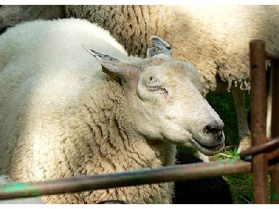 Photo Sheep With Closed Eyes Animal