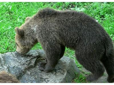 Photo Sniffing Bear Animal