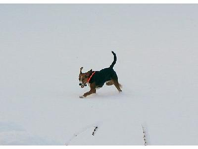 Photo Sporting Dog Running In Snow Animal