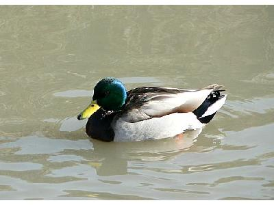 Photo Swimming Mallard Animal