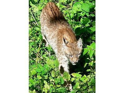 Photo Walking Lynx Animal