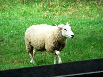 Photo Walking Sheep Animal