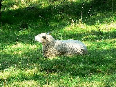 Photo White Sheep Resting Animal