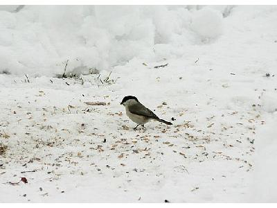 Photo Willow Tit Eating Seed Animal