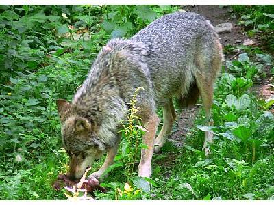 Photo Wolf Eating Animal