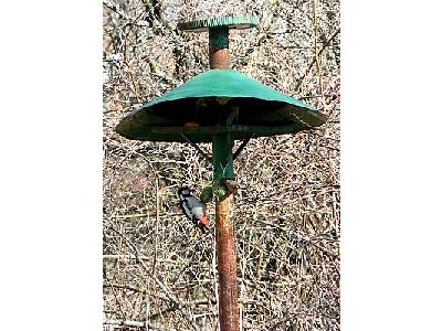Photo Woodpecker And House Sparrow On Birdfeeder Animal