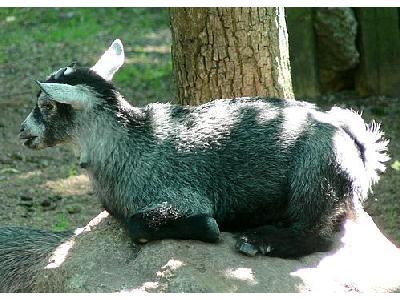 Photo Cute Goat Kid Animal