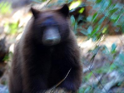 Photo Bear Attack Animal