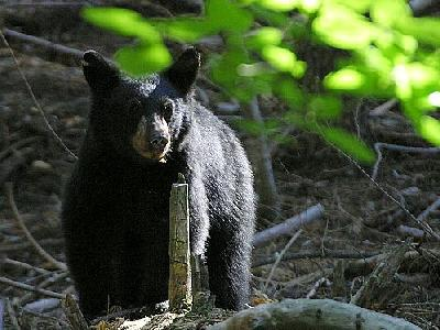 Photo Black Bear 2 Animal
