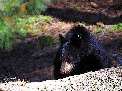 Photo Black Bear 3 Animal