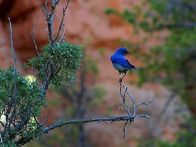Photo Blue Bird Animal