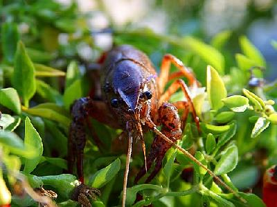 Photo Crawfish Animal
