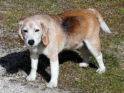Photo Dog Beagle Animal